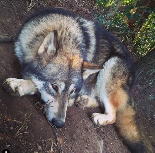 原田千栄の狼犬(ウルフドッグ)ライラがかわいい!狼犬は日本で飼育可能?許可は?危険性はない?