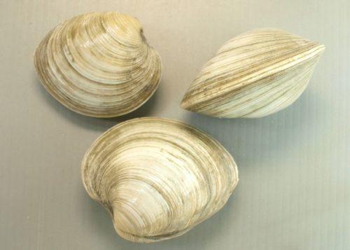 ダッシュ海岸砂浜のビーナスはホンビノス貝!北米原産外来種で旨い!通販や毒に食べ方は?【鉄腕ダッシュ】