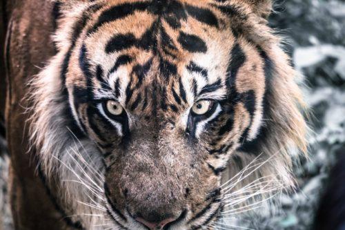 神野寺虎脱走事件の虎の現在は?北海道の動物園で死亡?生きてる?