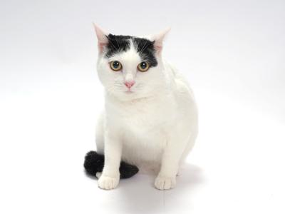 極主夫道の猫の銀役の動物タレントは猫モデルのマシロ!出演作やCMに品種や年齢は?