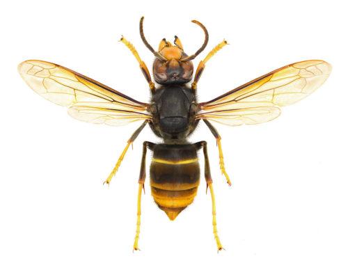 ツマアカスズメバチは食べれる?食用?【グリル厄介】